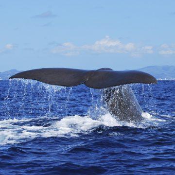 Fernando-Resendes_Sao-Miguel_Whale-Watching_DSC_0588 (2)